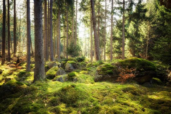Weichholz kommt meist von Nadelbäumen