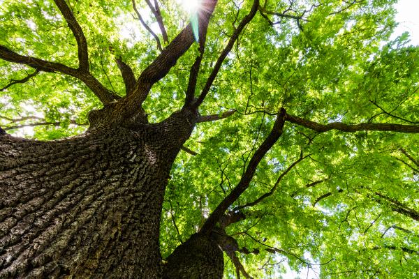 Blick in die gruene Baumkrone einer Eiche