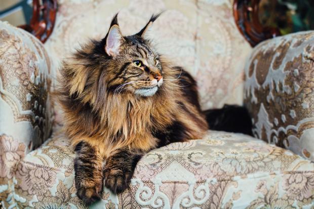 Haustiere auf Möbeln bedeuten Haare und Flecken