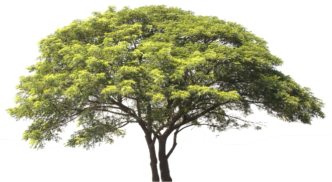 Regenbaum, weißer Hintergrund