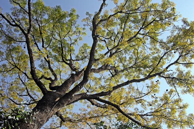Mahagoni Baum