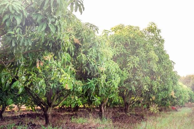 Mangobäume - hieraus werden hochwertige Mangomöbel hergestellt