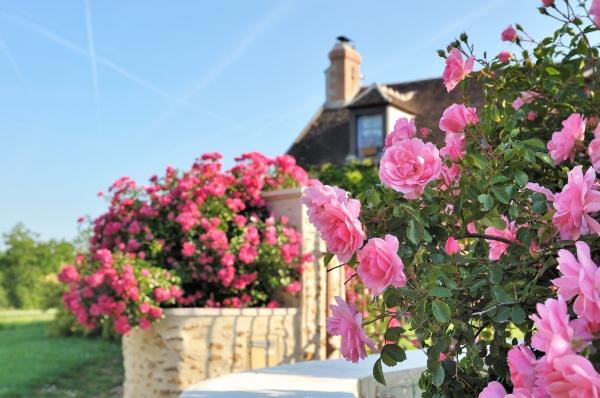 Rosenstrauch am Rande des Hauses